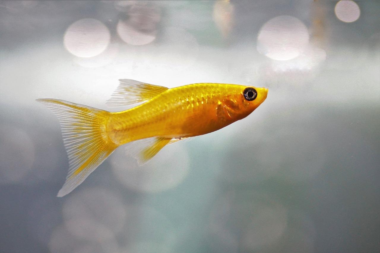 Studentski vic dana: Student i zlatna ribica