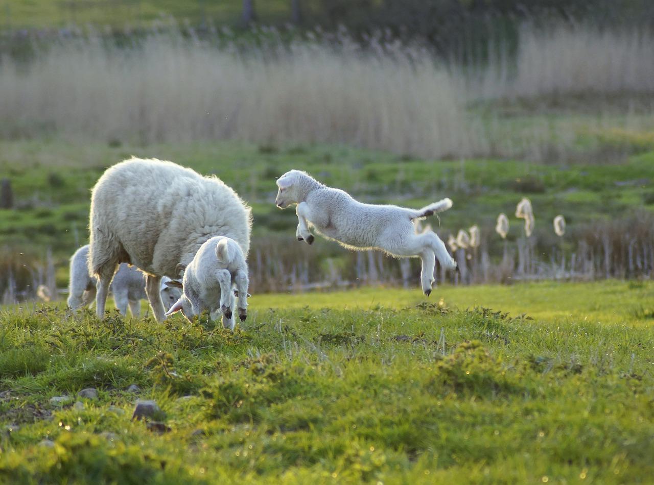 Za one kojima je svega dosta: Čuvajte ovce za 25.000 eura na pustom ostrvu