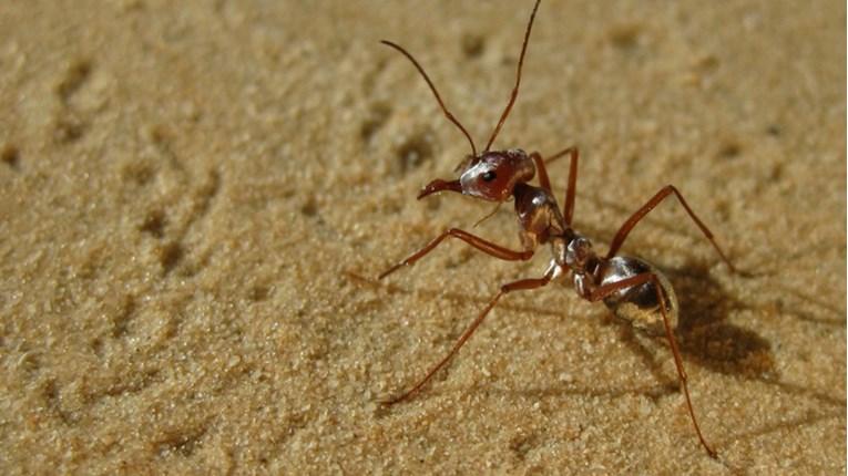 Najbrži mrav na svijetu kreće se 85 centimetara u sekundi