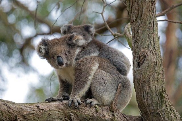 Neizmjerna ljubav: Beba koale zagrlila majku koja se bori za život i ne pušta je