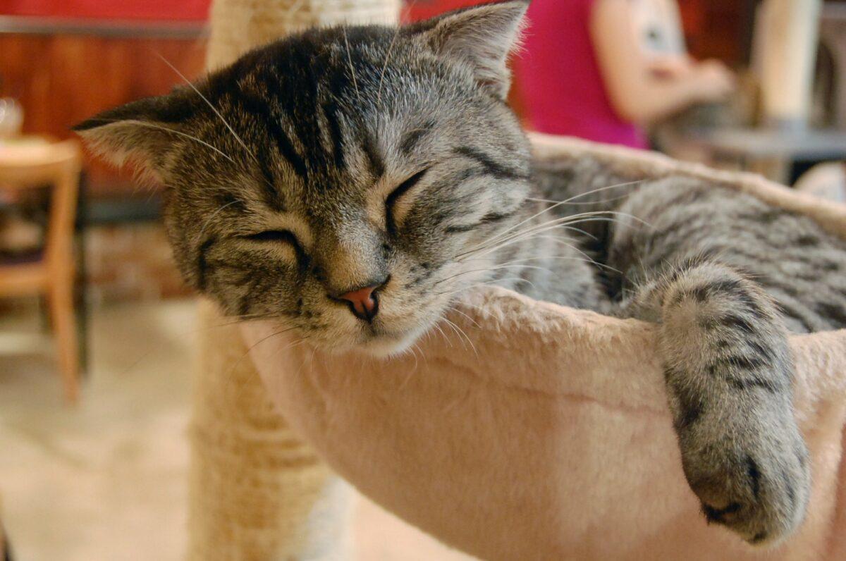 Kraljice šašavosti: Zašto mačke vole spavati na glavi svog vlasnika?